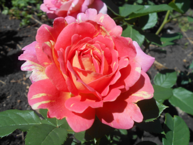 Роз де Цистерсьен (Rose des Cisterciens)